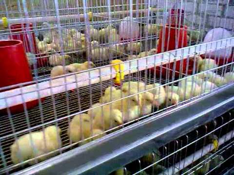 клетка для цыплят с первых