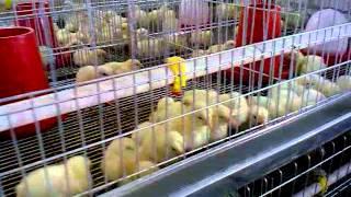 видео Инструкция по изготовлению брудера для цыплят своими руками, чертеж и фото