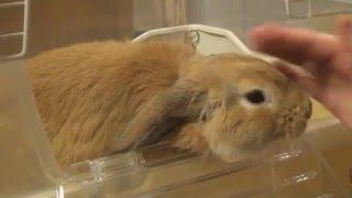 [HD] 人なつっこいホーランドロップ / Too cute Holland Lop Bunnie