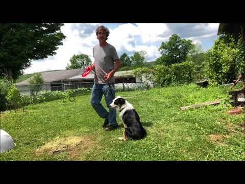 Teach Dog Frisbee  Australian Shepherd
