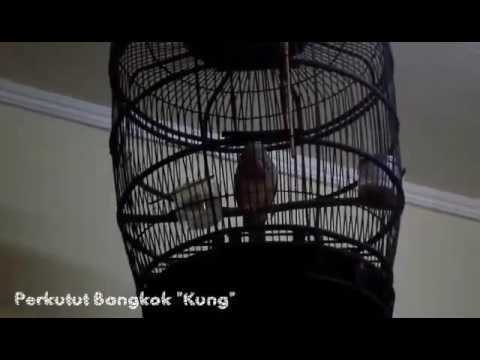 Burung Perkutut Bangkok Ku Sayang
