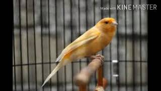 Suara burung kenari gacor isian blackthroat