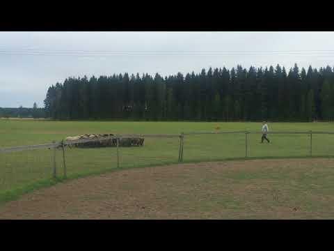 Finnish lapphund herding