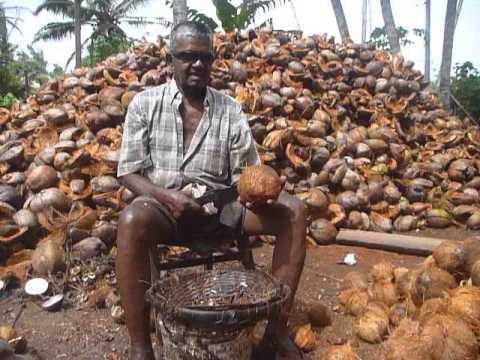 Coconut rhinoceros beetle threatens palm trees and Solomon Islanders' livelihood