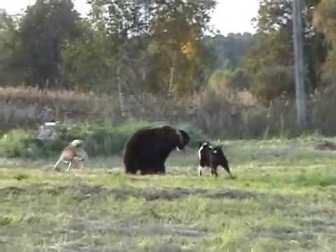 Видео работы зсл вайс дунайчик по медведю