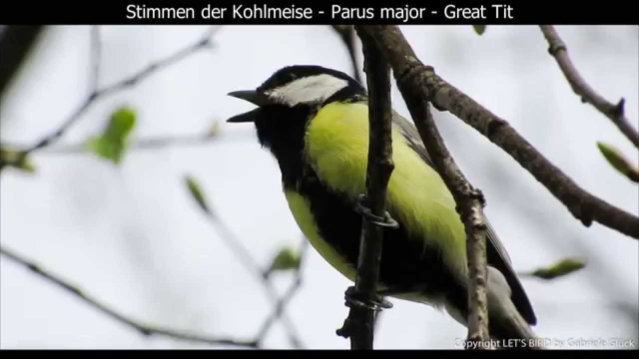 Kohlmeise Winter Kohlmeise Mit Gesang Great Tit Singing Parus Major 1080p Hd