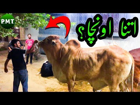 watch-the-height-of-this-giant-bull-for-qurbani-at-bakra-eid-2019- -kele-wala's-bulls-at-bakra-eid