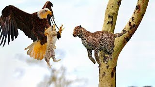 Eagle Attack Baby Leopard When Mother Leopard Hunting & Unexpected Ending