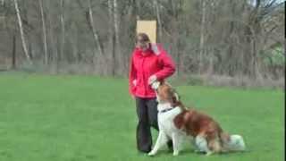 Saint Bernard positive obedience training