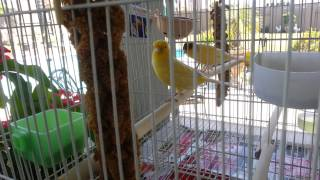 EZ Canary BREEDING set up CAGE