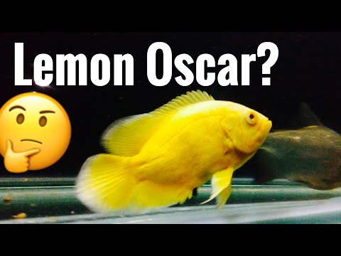 Lemon Oscar Fish - For Sale? Hybrid?