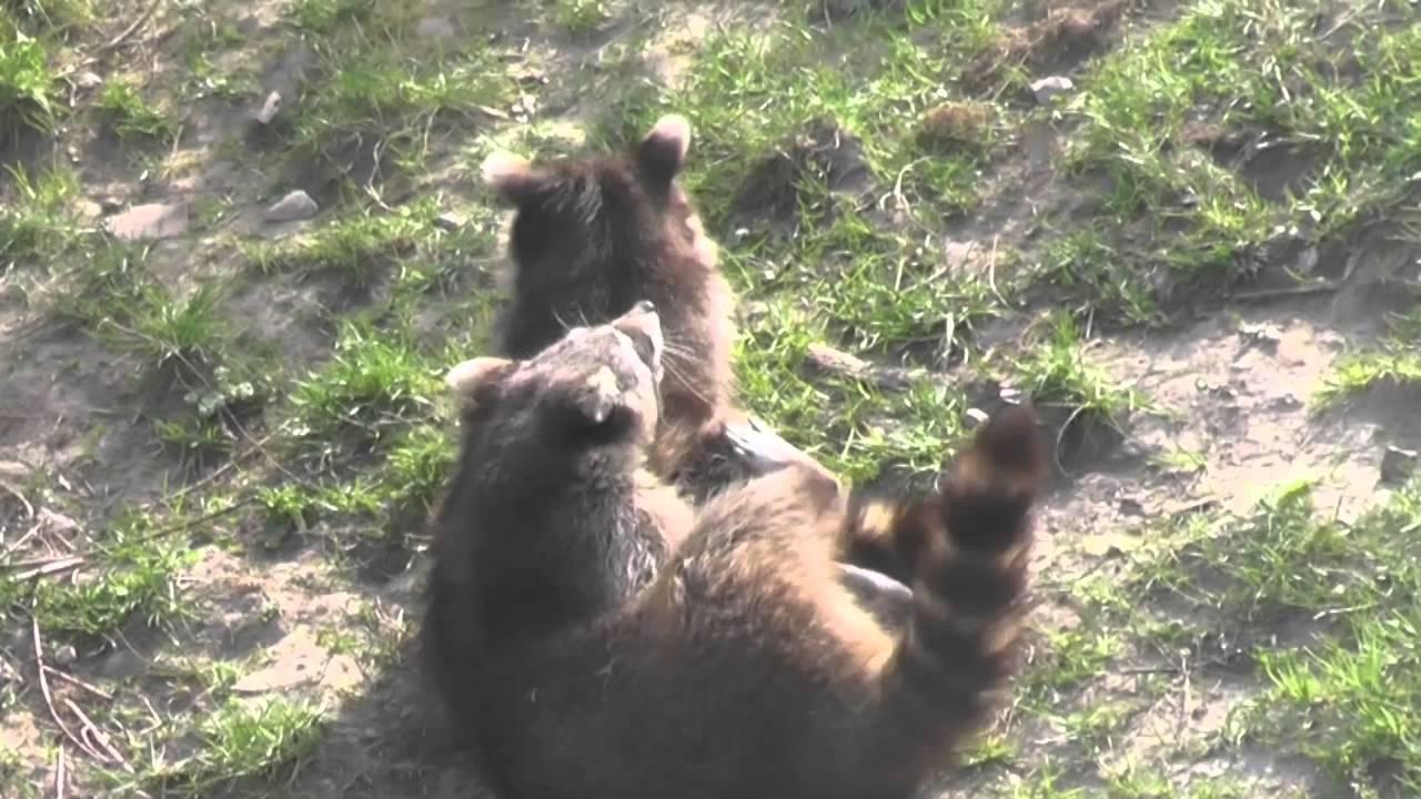 Waschbären sind manchmal aggressiv
