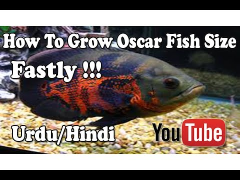How To Grow Oscar Fish Size | Basic Tips !!! Urdu/Hindi