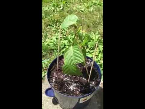 My New Kratom Plants Plants Came In
