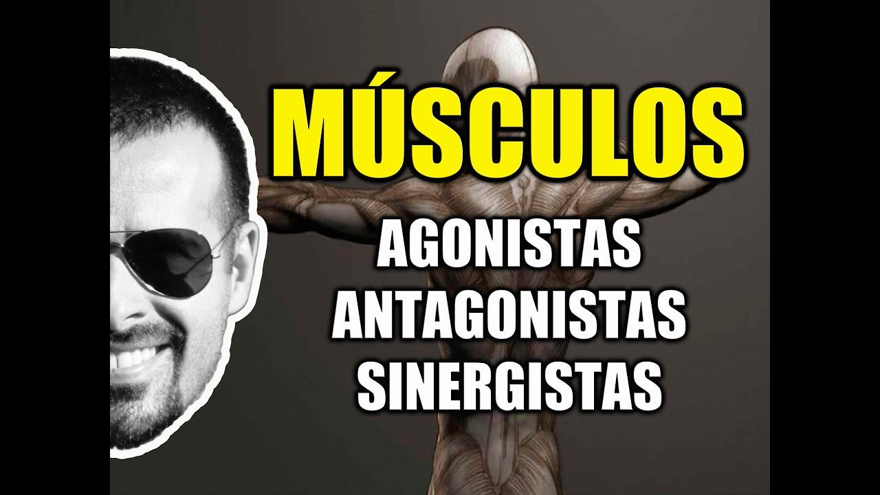 Músculos Agonistas, Antagonistas e Sinergistas - Sistema Muscular ...