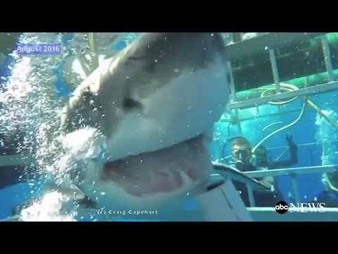 Great White Shark Breaks Into Cage [RAW VIDEO]