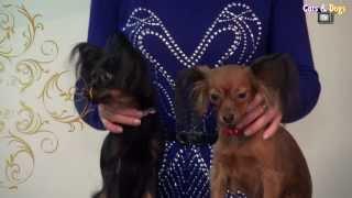 Cats&DogsTV - УДИВИТЕЛЬНЫЙ МИР СОБАК - РУССКИЙ ТОЙ / RUSSIAN TOY DOG BREED