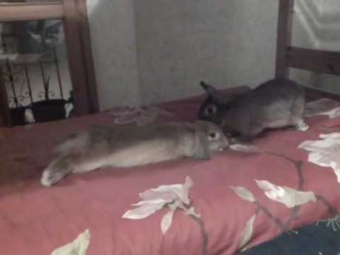 I miei conigli zeus e honey che si coccolano sul letto zeus si rotola d youtube - Letto che si chiude ...