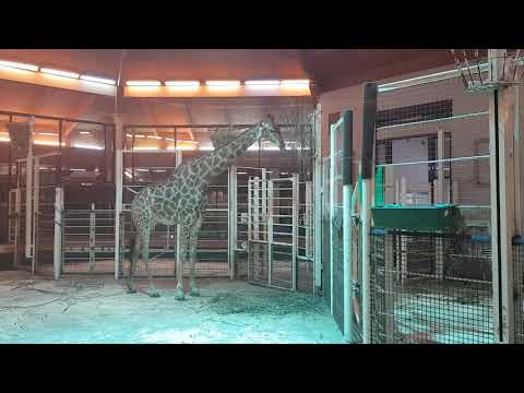 Transvaal giraffe in indoor enclosure