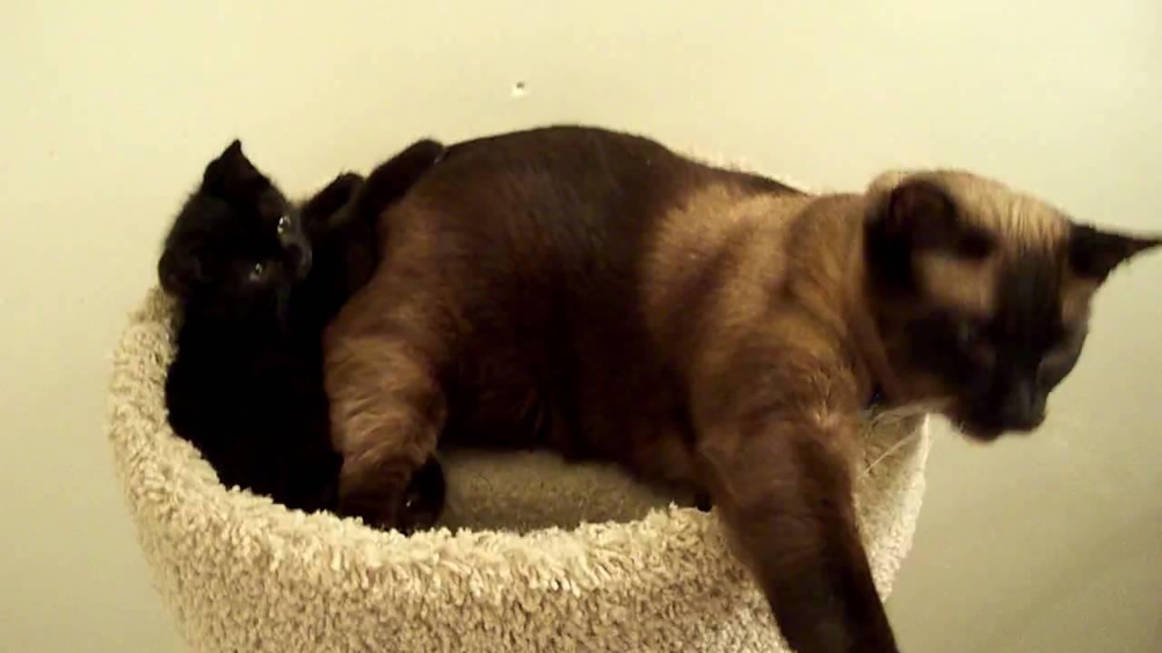 Black Cat Has Siamese Kitten