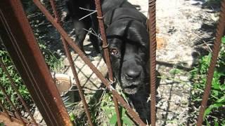 "Найдена собака-породы ""кане корсо"" (сука)"