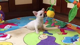 У ПРОДАЖУ біло-кремовий г-ш хлопчик чихуахуа Айс та інші щенята.
