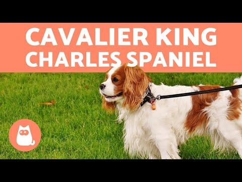 Cavalier King Charles spaniel  Características y cuidados