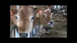 FOR KIDS -  Dairy Cow Breeds video