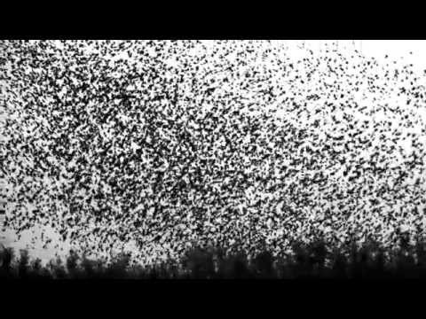 Starlings in Super Slow Motion