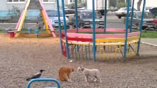 Драка кошек - ворона травит (Восток, Запад и Обама)