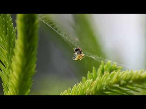 Křižák zelený (Araniella cucurbitina)
