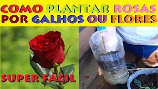 Estaquia de Rosas, Enraíze galhos de rosas pelo melhor método.