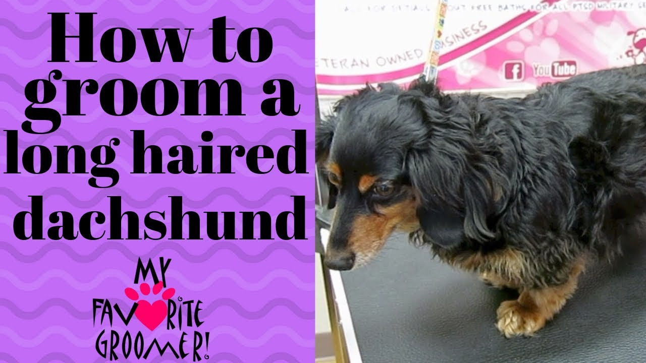 Grooming a long haired dachshund Chester