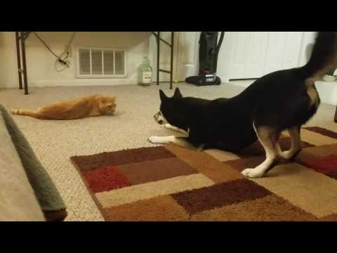Husky shiba mix annoying cat with friendship