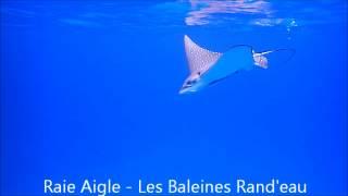 Raie Aigle - Les Baleines Rand'eau - Nosy Be - Madagascar