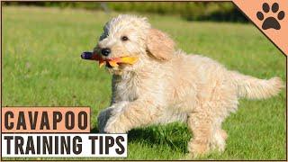 How To Train A Cavapoo | Dog World