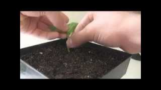Growing Basil Easy--Propagating By Cutting