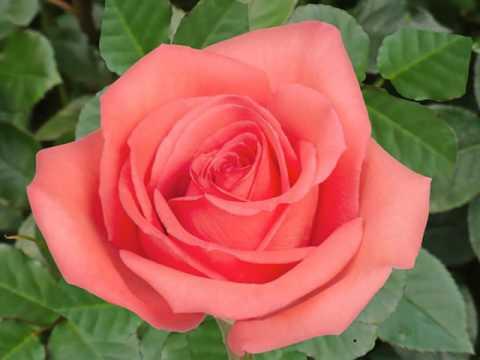 Orange Coral Roses Flower Youtube