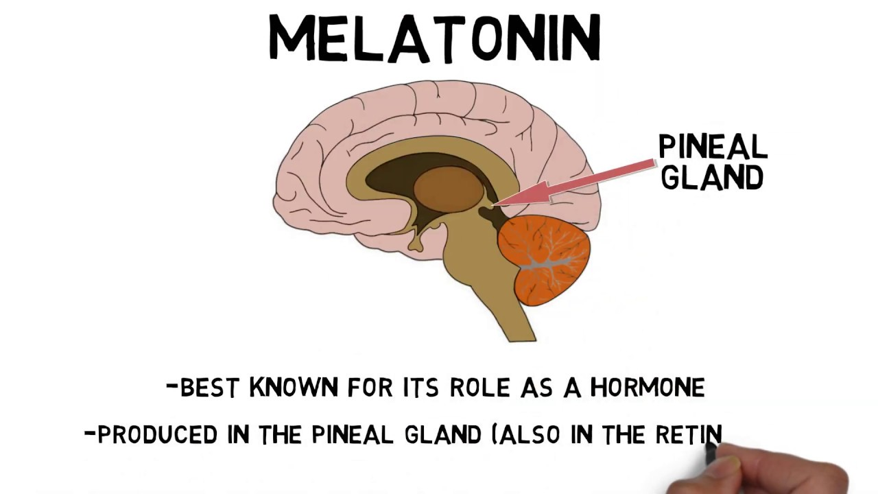 2-Minute Neuroscience: Melatonin - YouTube