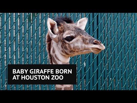 Adorable female giraffe calf born at Houston Zoo