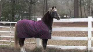 Morgan Stallion in Winter Thumbnail