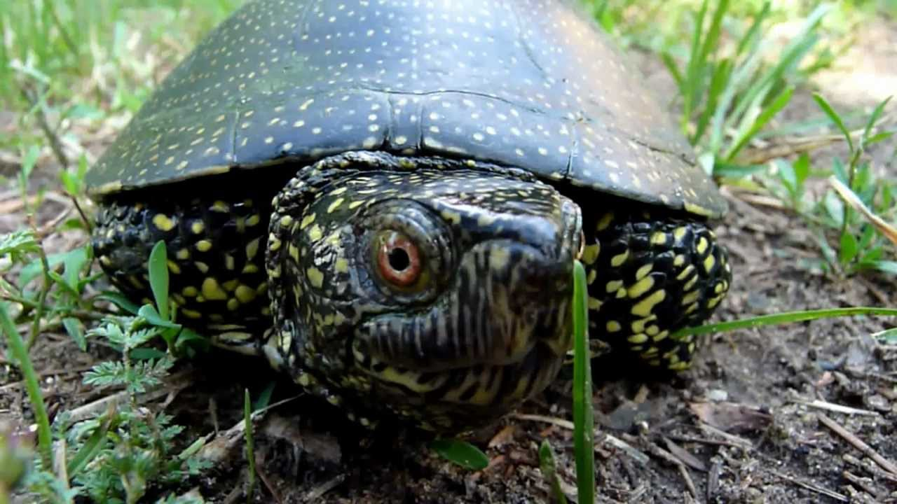 Balatonkenese Hungary  City pictures : ... footage European pond turtle show Balatonkenese, Hungary YouTube