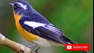 Suara Burung Sikatan Mugimaki