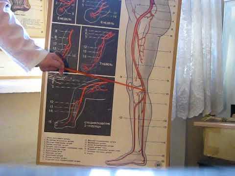 Кровоснабжение нижней конечности (ЗБМК)