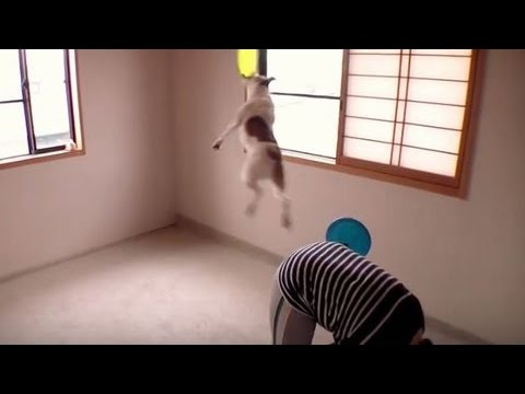 Amazing Frisbee Dog Tricks ④ Jack Russell Terrier ☆ capi ☆