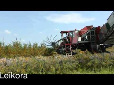 Seabuckthorn Harvest 2015