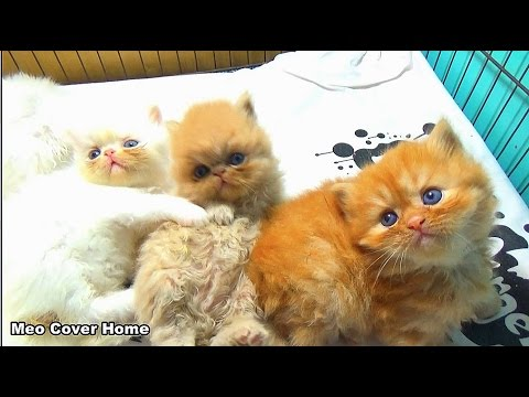 Kittens One Month Playing Together So Fun | Funny Kittens 2017 | Meo Cover Home