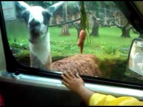 video-seru-dan-geli-banget,-belalai-gajah-masuk-ke-dalam-mobil-di-taman-safari-puncak-bogor