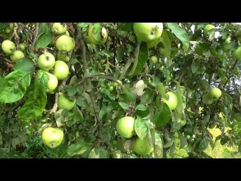 Яблочный Спас.   Много яблок .  Apple Spas. A lot of apples .
