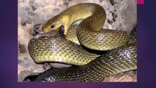 Презентация для детей по Доману. Змеи и крокодилы